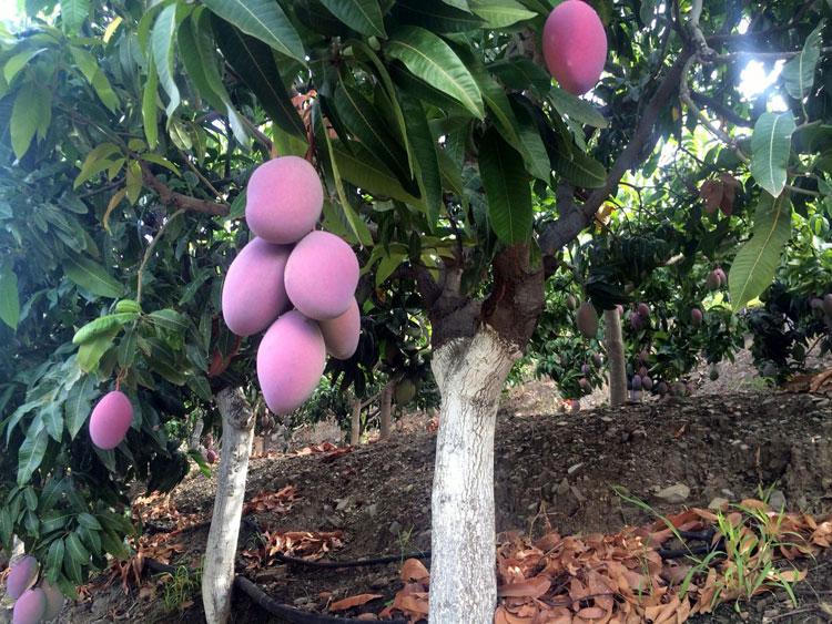Mango bomen costa Tropical