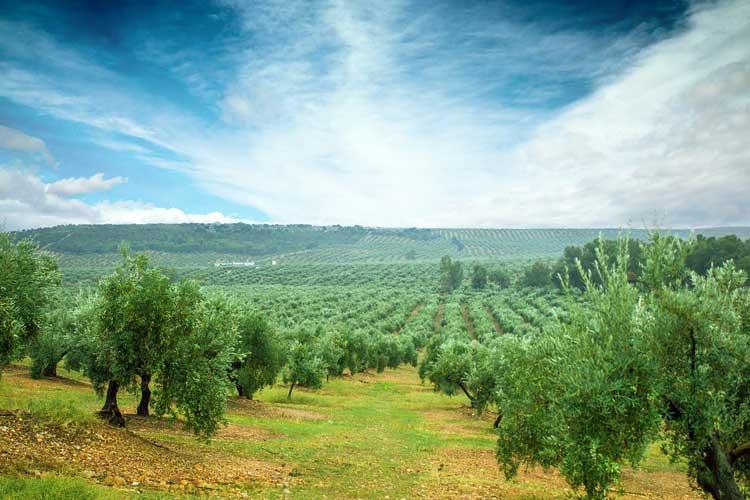Olijfbomen in Jaen, Andalusië